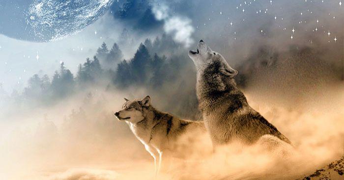 Два вълка